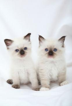"Ragdolls  =^..^=Thanks, Pinterest Pinners, for stopping by, viewing, re-pinning, & following my boards.  Have a beautiful day! ^..^ and ""Feel free to share on Pinterest ^..^   #catsandme #cats #doghealthcareblog: Ragdoll Cats, Color, Ragdolls Cats, Ca"
