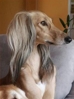 Saluki, also known as the Royal Dog of Egypt and Persian Greyhound is one of the oldest known breeds of domesticated dog.: Animals Dogs Hounds, Pets Animals, Elegance Dog, Dogs Salukis, Dogs Pets, Dog Saluki, Saluki Dogs