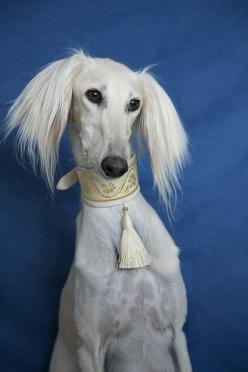 ~Saluki~ The Saluki, also known as the Royal dog of Egypt, is one of the oldest known breeds of domesticated dog. --- She looks like she should be on the cover of VOGUE.: Wrote Saluki, Domesticated Dog, Dogs Cats, Saluki Dogs, 200Lb Dogs, Dogs Forever, Th