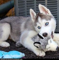 Siberian Husky Puppy- reminds me of Kira! @Amanda Snelson Snelson Snelson Snelson Gumpper: Husky Puppies With Blue Eyes, Husky Siberiano, Pet, Siberian Husky Puppies, Adorable Siberian, Siberian Huskies Puppies, Malamute Puppy Blue Eyes