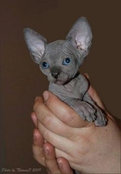 Sphynx kitten- for a long time I used to think this breed was quite scary looking, but I found out this is meant to be one of the friendliest breeds you can own! Plus, their skin is meant to feel just like velvet :3: Sphinx Kitten, Sphynx Cats, Hairless K
