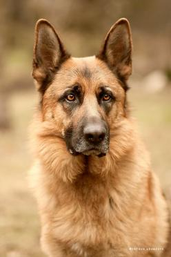 Such regal bearing! German shepherd head shot. #germanshepherd #gsd: German Shepherd Dogs, Shot Germanshepherd, Animal German, Beautiful Shepherd, German Shepherds, German Shepard, Beautiful Dogs, Beautiful German