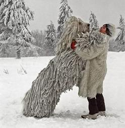 The Komondor, an old and large Hungarian breed of dog, know for it's dignity, bravery and strength.   ...And it's amazing natural dreads =D: Hungarian Breed, Hungarian Dog, Komondor Dog, Hungarian Komondor, Dog Breeds, Big Dogs