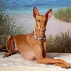 The Pharaoh Hound was bred in ancient Malta for its scenting & sight in hunting.  It still prefers a hot climate.  The Pharaoh Hound requires little grooming, but it does require a lot of exercise and is difficult to train.  It is not suited to urban