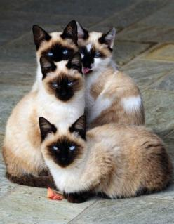 These #siamese #cats look like they're about to do something very very stupid...#love them Catsincare.com!: