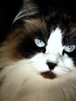 This cat has exactly the same colors as my cat Precious, except he had shorter hair...: Ragdoll Cat, Beautiful Cats, Pretty Cat, Beautiful Eyes, Blue Eyes, Cat Cat, Gorgeous Cat, Baby Cat