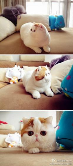 This is Snoopy the Cat (literally called the world's cutest cat):