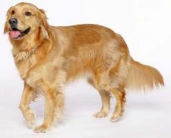 This looks exactly like my dog Brandy that passed in 2010. Always loved these dogs and I'll always miss Brandy: Golden Retrievers, Animals Pets, Breeds Goldenretriever, Golden Retriever S, Golden Retreiver