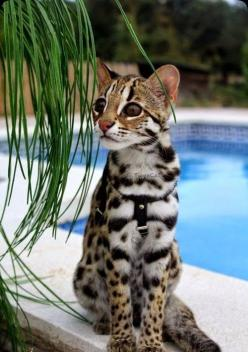 This photo looks like an Asian Leopard Cat called Valentine from TweeCat Bengals. Bengal cats are a hybrid of Asian Leopard Cats and domestic cats. The blog is correct that Savannahs are the result of breeding a standard domestic cat with the Serval, an A