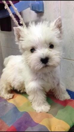 Top 10 Best Hypoallergenic Dog Breeds: Westie Puppie, Hypoallergenic Dog Breed, Baby Westie, Westie S, Dogs Westies, Heart Nose, Puppy S