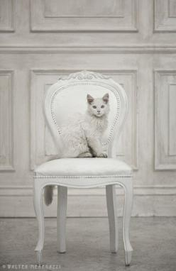 (via Cute as a Kitten ♥♥): White Chairs, Beautiful Cat, Cat White, Pet, White Cats, Kitty Kitty, Cat S, Color White, White Room