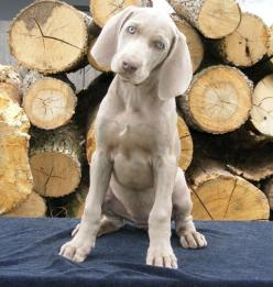 Weim puppie. Actually miss my stupid dog <3 Gretal. Glad you're now in a place where every night is trash night.: Dogs Weimaraners, Weim Puppie, Dakota Puppy, Dog Psychologist, Weimaraner S, Weimaraner Puppies, Weim Puppy, Dogs Weims