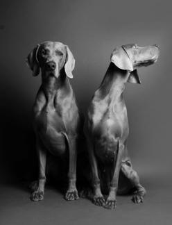 Weimaraner - Personality Dog Photographer | The McCartneys Dogs: Weimaraners Blauwe, Dogs Ace, Grey Dogs, Dog Photographer, Mccartneys Dogs, Weimaraner Personality, Weimaraner Dogs