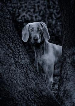 Weimaraner Puppy Training http://tipsfordogs.info/90dogtrainingtips/: Dog S Animals, Blue Weimaraner, Cute Pet, Weimaraner Puppies, Weimaraner S, Beautiful Dogs