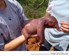 one-minute-old baby elephant.