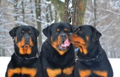 """Aw - shucks!"" #dogs #pets #Rottweilers facebook.com/sodoggonefunny: Beautiful Rotties, Rotties Dogs, Pets Rottweilers, Rotties Rule, Rottie Kisses, Rotten Rotties, Family Photo, Beautiful Dogs"