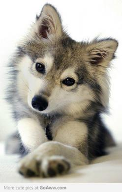 Alaskan Klee Kai (Miniature Siberian Husky) Ooo or one of these! I don't know why but I am in LOVE with these dogs. These or Huskies, or malamutes: Alaskan Klee Kai, Siberian Husky, Adorable Animals, So Cute, Cute Animals, Future Pet, Siberian Huskies
