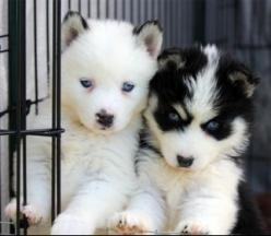 Alaskan Klee Kais Pomskys and Miniature Huskies! - Pomskys: