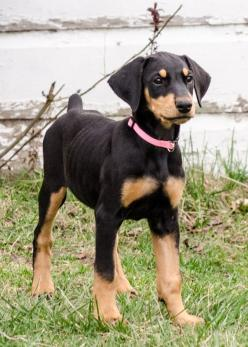 All About Doberman Pinschers | Doberman Pinscher Dog Picture #7498 | Pet Gallery | PetPeoplesPlace ...: Dogs Doberman, Doberman Mix Puppy, Doberman Pinscher, Beautiful Dobermans, Baby Girl, Dogs Puppies, Dobermans Apbterrier, Doberman Puppies