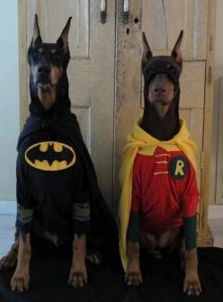 Batman and Robin! I wish people would stop cropping Doberman's ears and docking tails, though. They look much nicer when they're natural (and in costume)!: