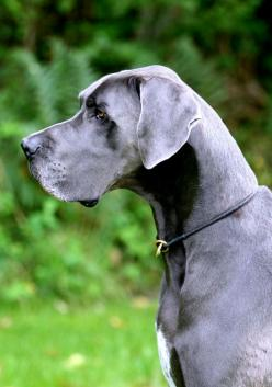 Blue Great Dane! Seriously can not wait to own one of these!! Gentle Giants <3: