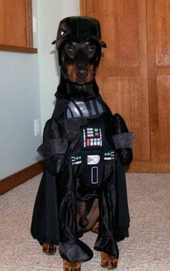 Darth Doberman- my favorite kind of dog in a Star Wars costume = win: Consultation Dogcostume, Doberman Dogs, Dog Halloween Costumes, Animals In Halloween Costumes, Dog Costumes, Pet Costumes, Doberman Halloween Costumes, Star Wars Costumes, Big Dogs