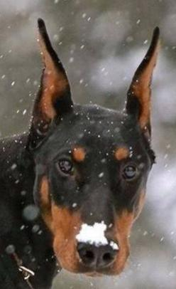 DID YOU SAY YOU WAN'TED A SNOWBALL FIGHT ? (HAVE YOU LOST YOUR MIND ? ) OR DO YOU HAVE A BRAIN FREEZE ?: Doberman Pinscher, Doberman Dogs, Darling Dobermans, Dobermann Che, Magestic Dobermans, Adorable Dobermans, Beautiful Dobermann