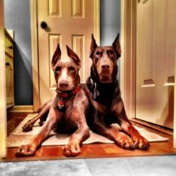 Doberlicious Dobermans: Doberlicious Dobermans, Doberman Pinscher, Color, Doberman Dogs, Dobermans Repin, Beautiful Dobermans, Dogs And, Dobermans Gorgeous