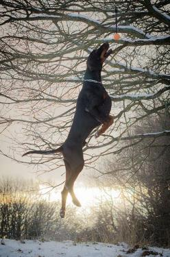 Doberman | By I AM ....: Shot Doberman S, Doberman Jump, Dobermans Rule, Doberman Doggies, Doberman Pinscher Natural Ears, Doberman Ooh, Doberman Pinchers, Jump Doberman