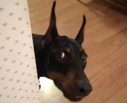 Doberman Pinscher loves playing hide and seek (VIDEO) » DogHeirs | Where Dogs Are Family « Keywords: Doberman Pinscher, hide and seek: Dobermans Funny, Dobermans Shared, Funny Dobermans, Doberman Dogs, Doberman Pinscher, Dobermans Dobermans, Animal