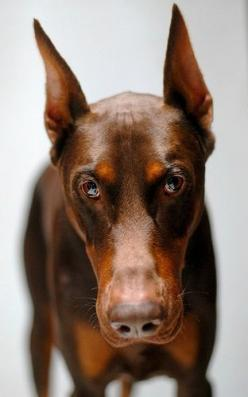 #Doberman: Red Doberman, Dogs Doberman, Dobies Doberman, Doberman Dogs, Animals Dogs, Red Dobie