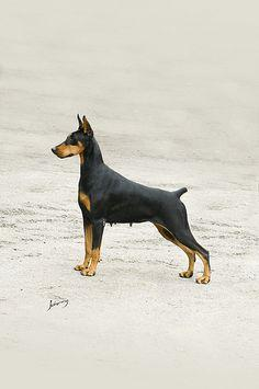 Dobermann or pincher?