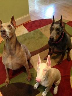 Fawn, white & blue Dober babes: Doberman Best, Blue Dobermans, Doberman Pinchers, Dob Doberman, Anything Dobermans, Doberman S