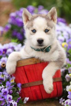 Husky puppy that loves nature: Field Of Flowers, Dogs And Puppies, Husky Flowers, Blue Eyes, Puppy, Huskies Puppies, Eyes Tho