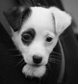 Jack Russell Terrier (Black Patch) on Ear and Eye! #JackRussell #Dog I want one!!: