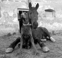 Krisztina Nemeth #Dobermanpinscher #Doberman #horse: Dobermanpinscher Horse, Doberman Pinscher, Doberman Horse, Friends Horse, Horses Dogs, Dobermans Horses, Horses And Dogs