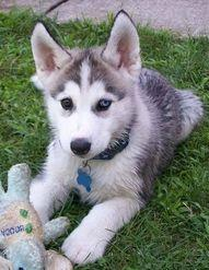 List of Top Three Hypoallergenic Dogs: Baby Huskies, Baby Husky, Blue Eyes, Siberian Huskies, Huskies Puppies, Different Colored Eyes
