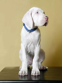 often put down at birth, albino danes are born deaf. They will teach you to speak dog by just using your body language rather than words to communicate. Great rescues for experienced dog owners.  Awww. :(: Dane Puppies, Doggie, Great Danes, Dane S, Great