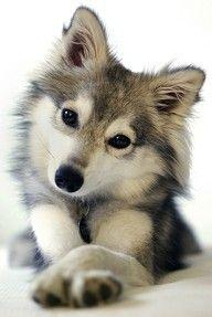 POMSKY: a cross between a husky and a pomeranian. (I like to think of this one as a WOLF/pomeranian cross because he looks a tad wolfie.