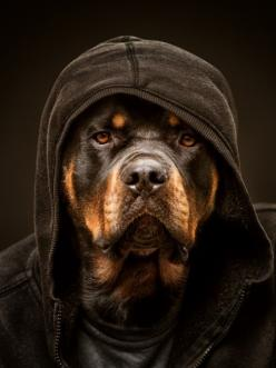 Rottie as cozy as can be.: Hooded Rottie, Snoop Dogg, Thug Life, Rotties Rottweilers, Lenox Photography, Fav Animals, Rottie S