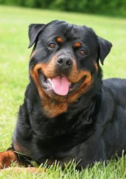 #Rottweiler #Dog - the most beautiful and loyal and sweet animals to ever walk the earth!!!: Rottweiler Animals, Animals Dogs, Rottweiler Dogs, Rottweilers Dogs, Beautiful Dogs