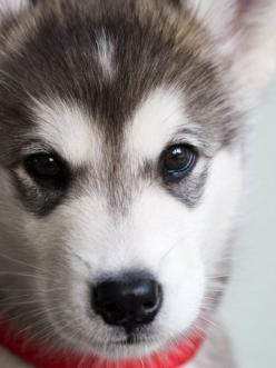 Sweet little face...: Siberian Husky, Pet, Alaskan Malamute Puppies, Baby Husky, Baby Huskie, Friend, Animal