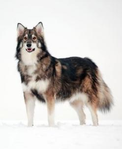 Utonagan Dog (specially bred from Alaskan Malamute, Siberian Huskey, and German Shepard; became a breed of its own just for its look. Love it: Dog Breed S, Chinook Dogs, Animals Furkin, Chechoslovakian Wolfdog, Breed Utonagan, Utonagan Dog, Dog Breeds, Be