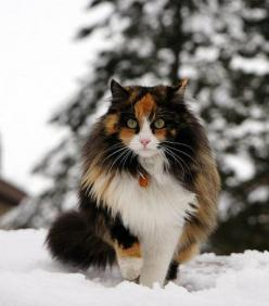 """It is with the approach of Winter that cats wear their richest fur and assume an air of sumptuous and delightful opulence."" --Peter Loti: Beautiful Cat, Kitty Cats, Animals, Maine Coon, Pretty Cat, Snow Cat, Fluffy Cat, Coon Cat"