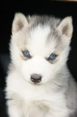 A husky pup with bright blue eyes staring at the camera.: Animals, Dogs, Pet, Beautiful, Puppys, Blue Eyes, Baby, Huskies Puppies