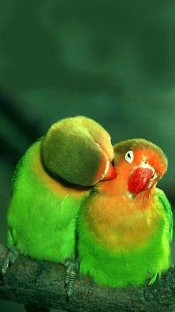 Agapoornis - Animal -> Por: Angel Catalán Rocher <- Sígueme!: Kiss, In Love, Animals, Parrots, Wallpapers, Lovebird, Beautiful Birds, Photo
