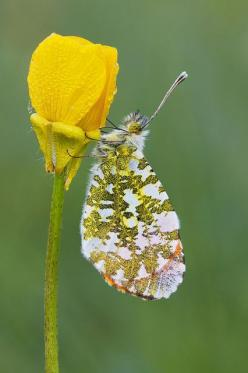 Anthocharis Cardamines Butterfly.: Beautiful Butterflies, Nature, Color, Flutterby, Flowers, Garden, Animal