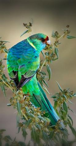 Australian Ringneck - Mother Nature has never been so stylish! - 2013 Color of the Year: Emerald Green: Pretty Picture, Exotic Birds, Color, Parrots, Animals Birds, Beautiful Birds