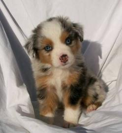 Australian Shepherd... my neighbor has one and its the sweetest thing ever, and its still super cute when it gets older: Australian Shepard, Australian Sheperd, Animals, Dogs, Australianshepherd, Pet, Puppys, Australian Shepherd, Aussie