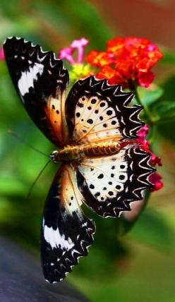 Beautiful butterfly ... thanks @Britney Chickenpow Chickenpow Chickenpow Sewell Intl: Beautiful Butterflies, Blue Butterfly, Purple Butterfly, Flutterby, Butterfly Moth, Butterflies Moth, Red Spotted Purple